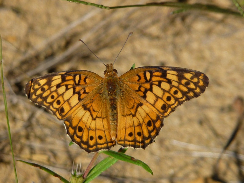 Gallery for orange butterfly names - Brown butterfly meaning money ...