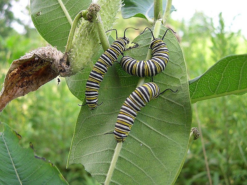 Butterfly , 8 monarch butterfly caterpillar :... Queen Butterfly Vs Monarch